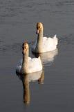 Italian mute swan bird Stock Photo
