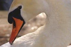 Italian mute swan bird Stock Images