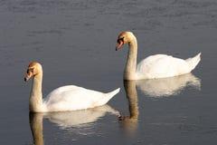 Italian mute swan bird Stock Image