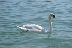 Italian mute swan bird Royalty Free Stock Images