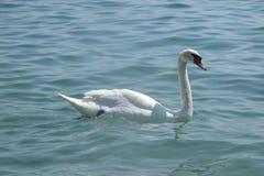 Italian mute swan bird Royalty Free Stock Images
