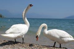 Italian mute swan bird Royalty Free Stock Image