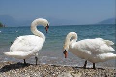 Italian mute swan bird Royalty Free Stock Photo