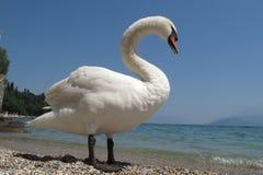 Italian mute swan bird Royalty Free Stock Photography