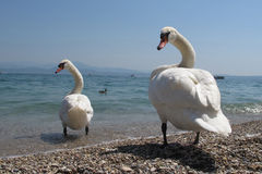 Italian mute swan bird Stock Photography