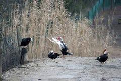 Italian native ducks Royalty Free Stock Photos