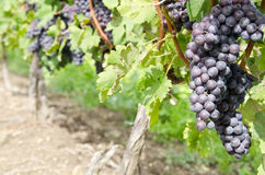 Italian Nebbiolo Red Wine Grapes on the Vine #1 Stock Photo