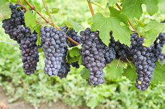 Italian Nebbiolo Red Wine Grapes on the Vine #3 Stock Photos