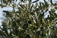 Italian olive branch. Some brunches of italian olive trees in august royalty free stock images