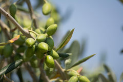 Italian olive branch. Some brunches of italian olive trees in august royalty free stock photo