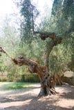 Italian olive tree secular Royalty Free Stock Image