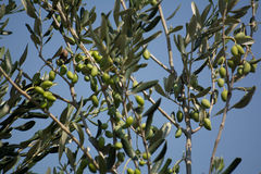 Italian olive trees. Some brunches of italian olive trees in august royalty free stock photo