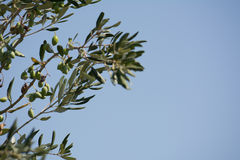Italian olive trees. Some brunches of italian olive trees in august royalty free stock image