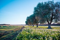 Italian Olives Trees On Flowered Meadow Landscape In A Sunny Day Stock Images