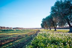 Italian Olives Trees On Flowered Meadow Landscape In A Sunny Day Stock Photography