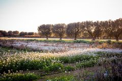Italian Olives Trees On Flowered Meadow Landscape In A Sunny Day Royalty Free Stock Images