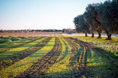 Italian Olives Trees On Flowered Meadow Landscape In A Sunny Day Royalty Free Stock Photo