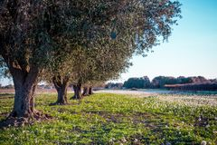 Italian Olives Trees On Flowered Meadow Landscape In A Sunny Day Stock Photo