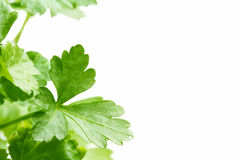 Italian Parsley Stock Photos