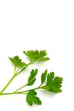 Italian Parsley Stock Image