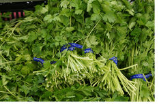 Italian parsley, Flat leaf parsley Stock Photography