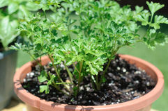 Italian Parsley (Herb) Plant Stock Image