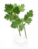 Italian parsley in vase Royalty Free Stock Photos