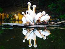 Italian Pelican stock photo