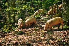 Italian Pigs Royalty Free Stock Photography