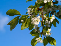 Italian Plum Blossoms Royalty Free Stock Images