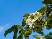 Italian Plum Blossoms Royalty Free Stock Photos