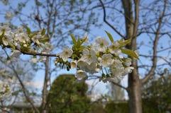 Italian  plum Blossoms Royalty Free Stock Photo