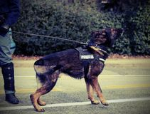 Italian police dog while patrolling the city streets before the Stock Photography
