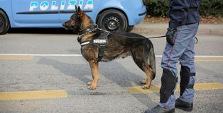 Italian police dog while patrolling the city streets before the Royalty Free Stock Image