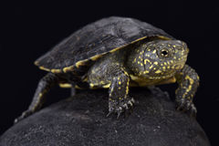 Italian pond turtle, Emys orbicularis galloitalica. The Italian pond turtle, Emys orbicularis galloitalica, is a brightly colored and endangered reptile species Royalty Free Stock Images