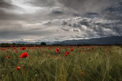Italian poppies. Poppies field in veneto at the sunset Stock Images