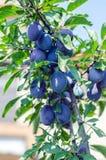 Italian Prune Plum- Damson Royalty Free Stock Photos