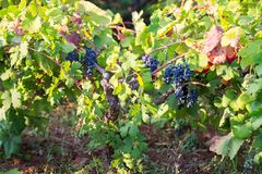 Italian purple grapes on vine in garden, Apulia royalty free stock photo