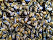 Italian Queen Bee in center of worker bees laying eggs in beehive frame closeup. Detailed, bright wings, Macro, wax cell Larvae Royalty Free Stock Image