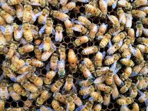 Italian Queen Bee in center of worker bees laying eggs in beehive frame closeup. Detailed, bright wings, Macro, wax cell Larvae Stock Image