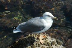 The Italian seagull Stock Photo