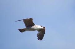Italian seagull flying over Tevere river. In Rome Stock Photos