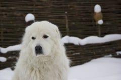Italian shepherd dog stock image