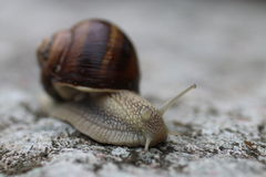 Italian Snails Stock Images