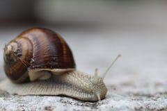Italian Snails Stock Image