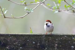 An italian sparrow with bread in its beak. Italian sparrow with bread in its beak Royalty Free Stock Image