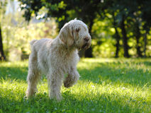 Italian Spinone in hanting Stock Photos