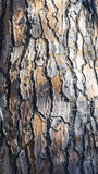 Italian Stone Pine bark Royalty Free Stock Photography