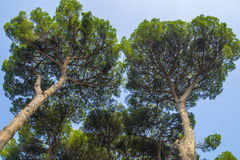 Italian stone pine forest. Also called umbrella pine stock photos