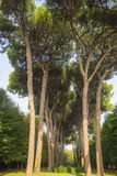 Italian stone pine forest Royalty Free Stock Images
